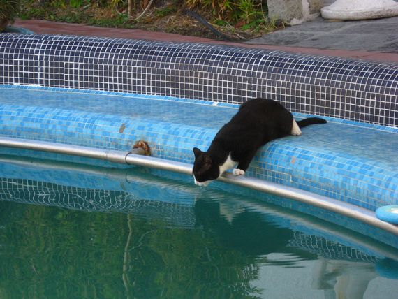 Cat drinking out of pool